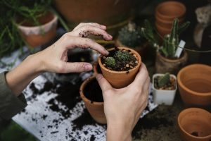 re-potting of a cactus